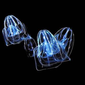 カブトクラゲ
