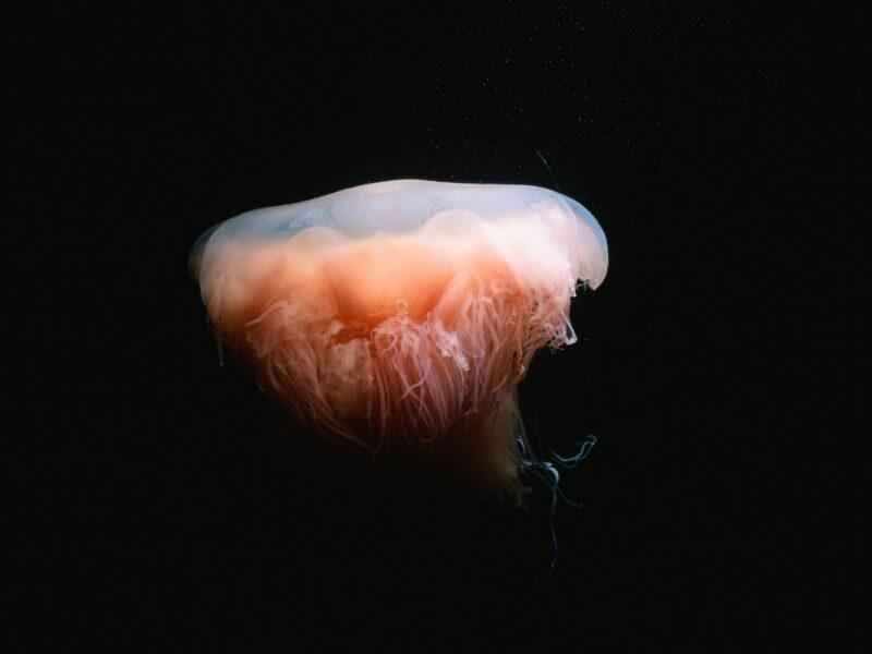 ユウレイクラゲ